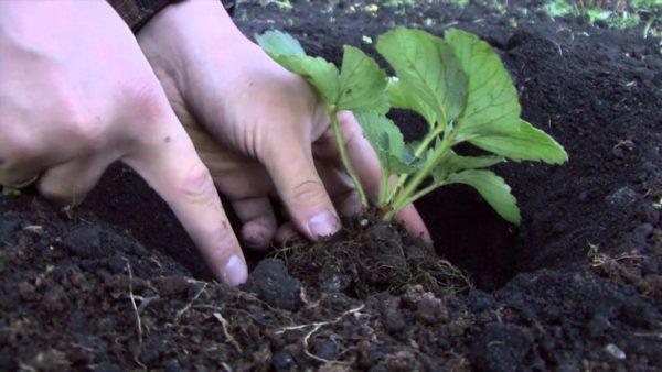 Посадка садовой земляники