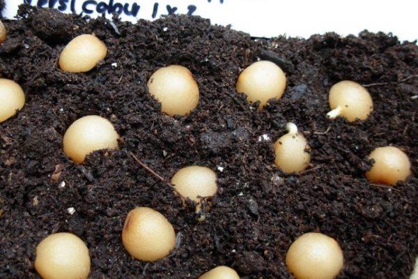 посев семян кливии