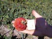 Садовая земляника Машенька