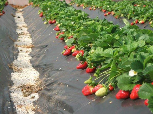 Выращивание клубники на гребнях