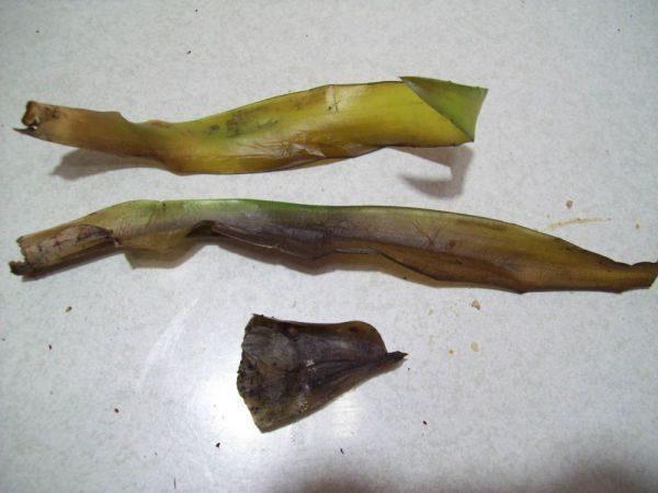 Загнившие листья эхмеи