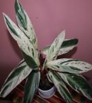 Строманта Multicolor