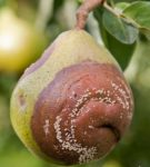 Плодовая гниль груши