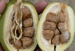 Семена пахиры