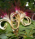 Цветы пахиры
