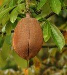 Плод пахиры