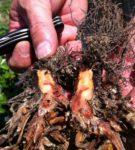 Фитофторозная корневая гниль