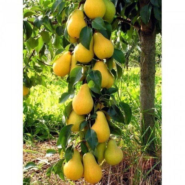 Ветка с плодами груша Медовая