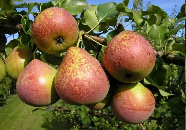 Плоды груши Мраморной