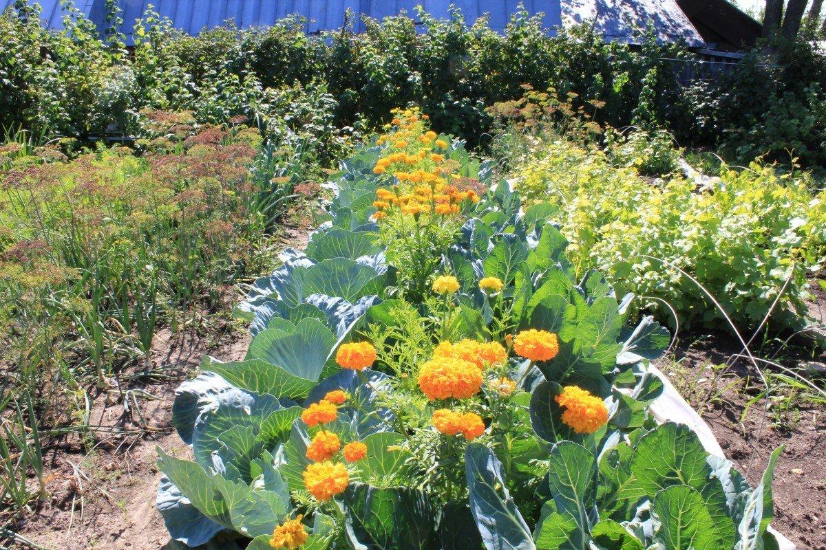 Какие цветы сажать возле капусты 38