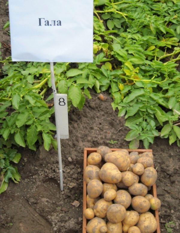 Посадки картофеля Гала