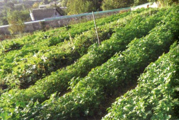Картофельное поле на склоне
