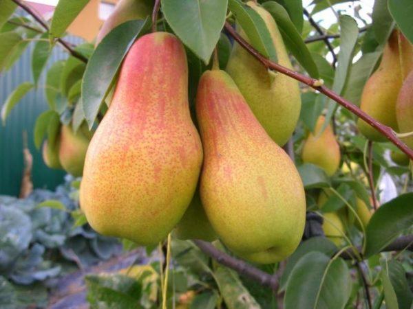Плоды Талагарской красавицы