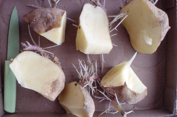 Разрезанные клубни картофеля