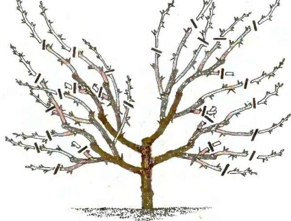 Обрезка взрослого вишнёвого дерева