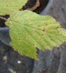 Септориоз малины