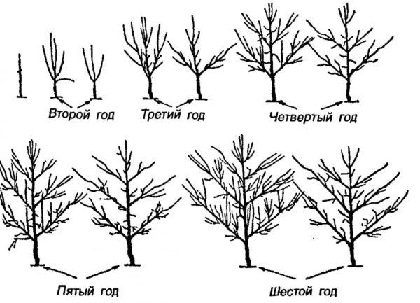 Схема формирования пальметты