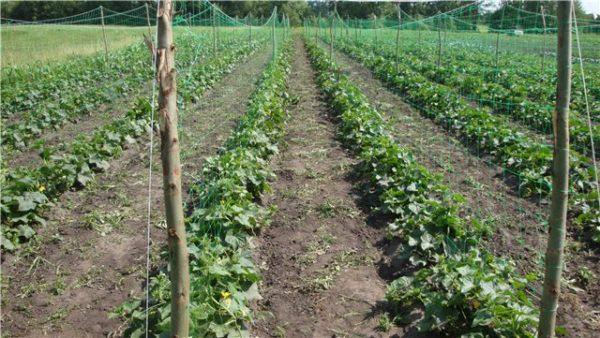 Шпалерный способ выращивания