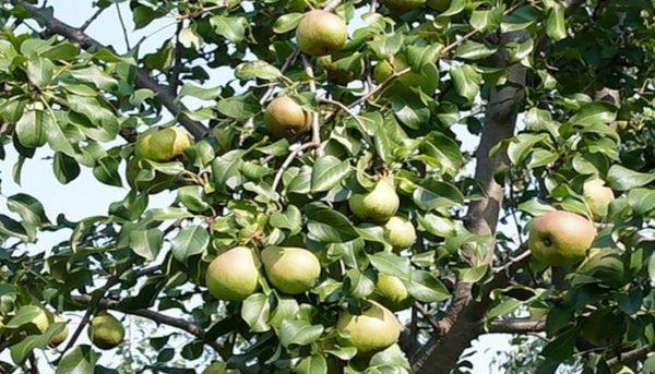 Дерево Белорусской поздней груши, усыпанное плодами