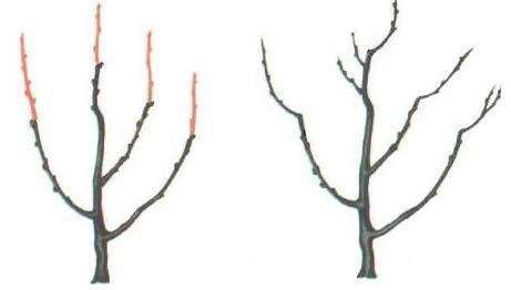 Обрезка деревьев с пирамидальной кроной