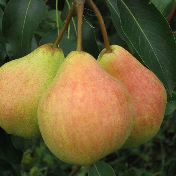 Осенний сбор урожая груш