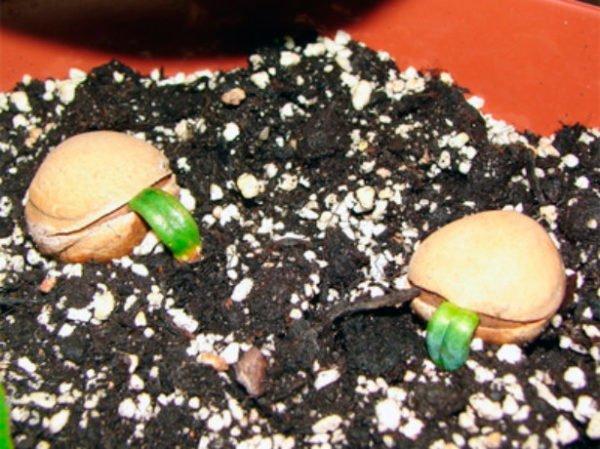 Проращивание семян цикаса