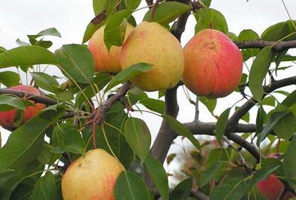 Спелые плоды Кафедральной