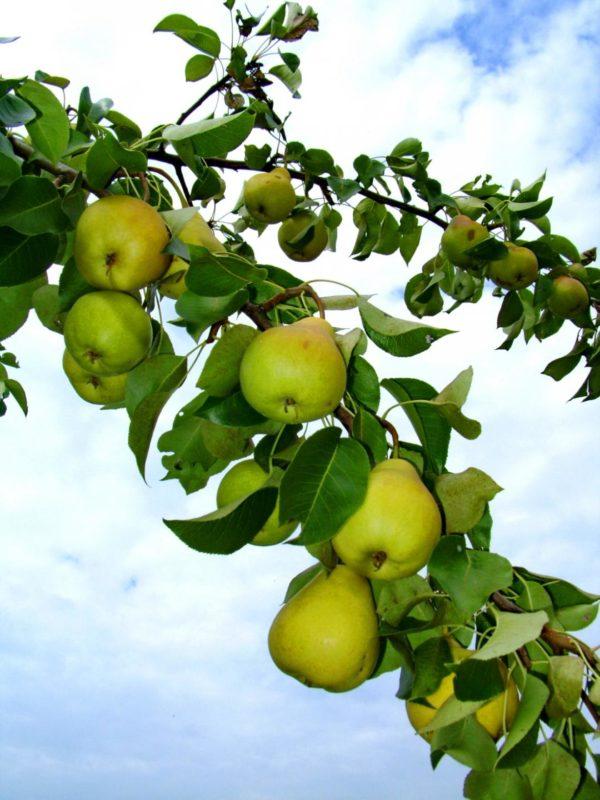 Ветвь Кафедральной с плодами