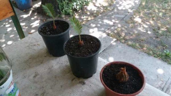 Высаженные отростки цикаса