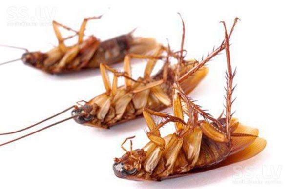 Гибель тараканов в результате отравления борной кислотой