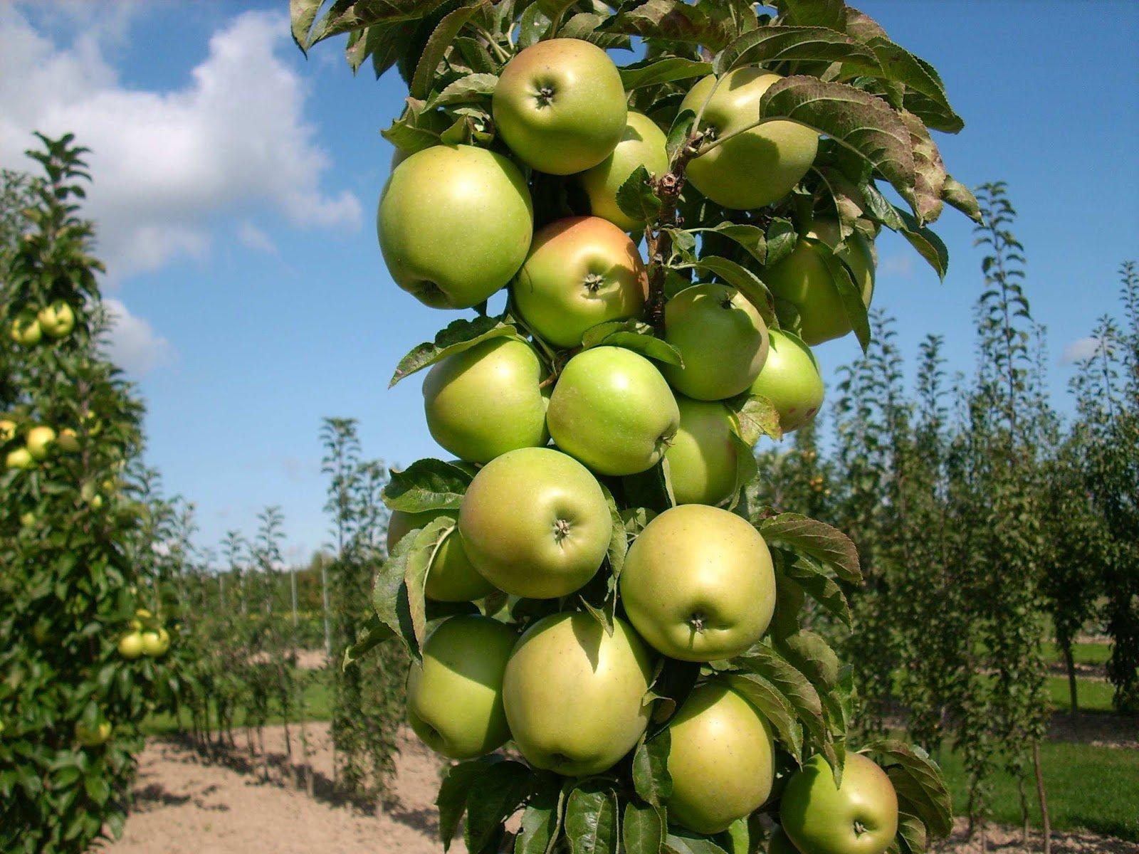 Колоновидная яблоня Валюта: характеристика, посадка и уход
