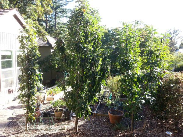 Колоновидные яблони в саду