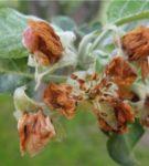 Листья, повреждённые цветоедом