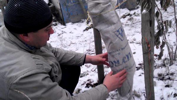 Укрытие вишни на зиму