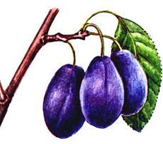 Плодообразование сливы