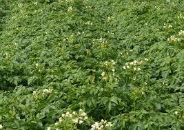Сорт Невский на огороде