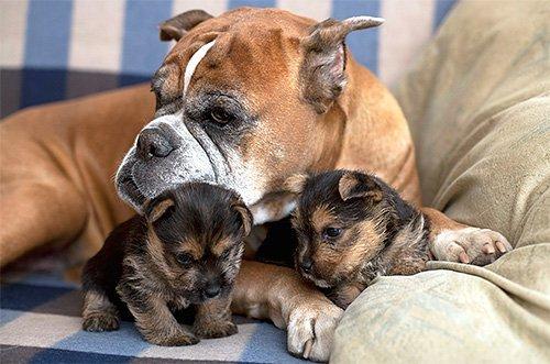 Боксёр со щенками