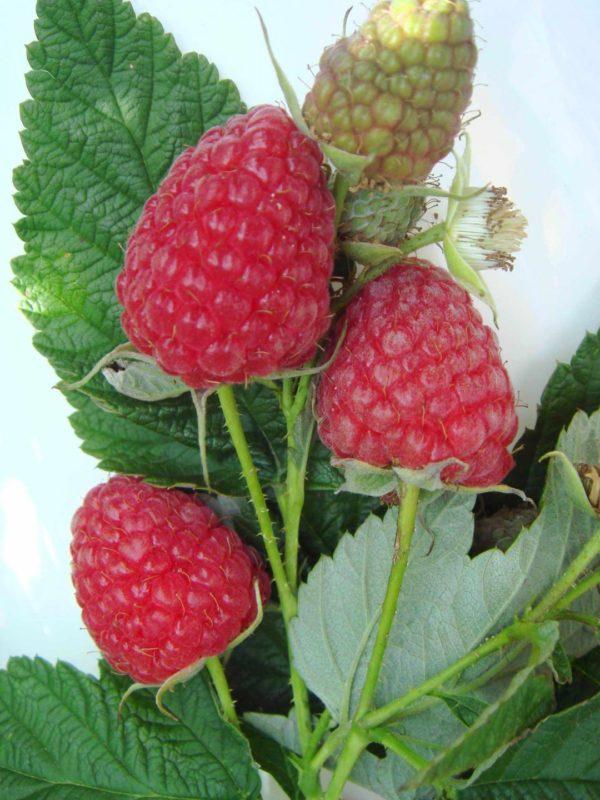 Брусвяна ягоды