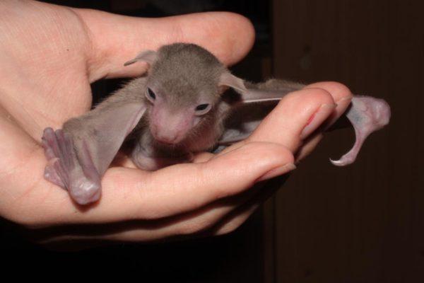 Детёныш летучей мыши