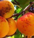 Кольцевая оспа абрикоса