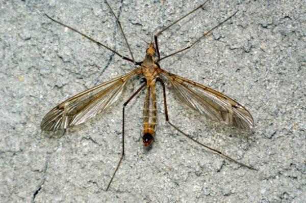 Комар-длинноножка