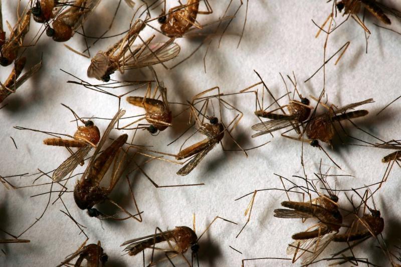 Сонник черви жуки фото