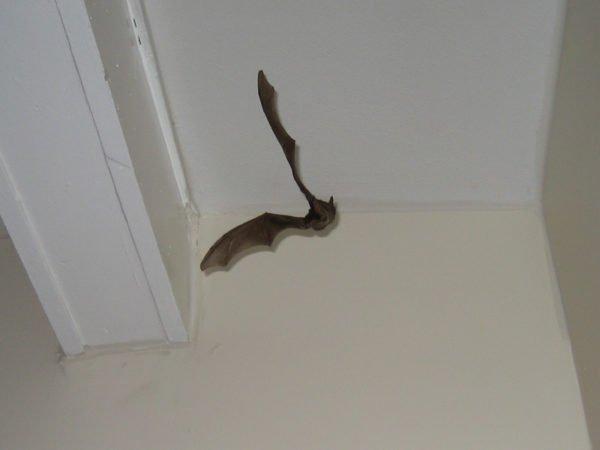 Летучая мышь в квартире