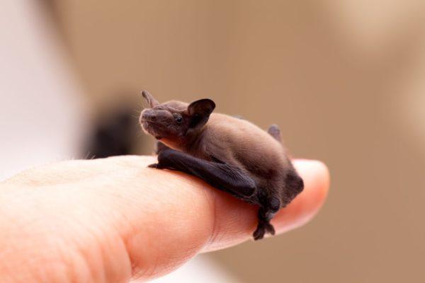 Маленькая летучая мышь