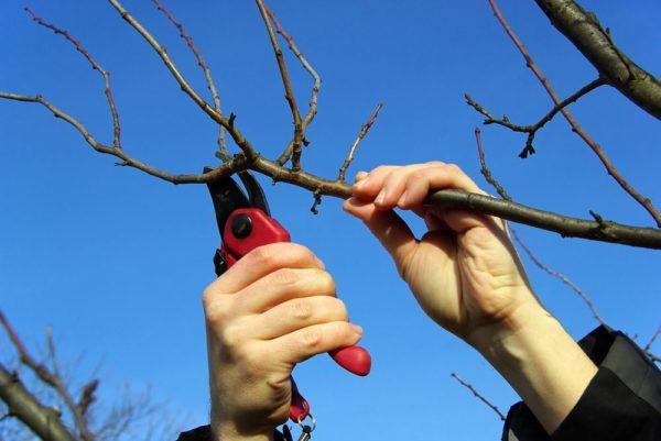 Обрезка абрикосового дерева