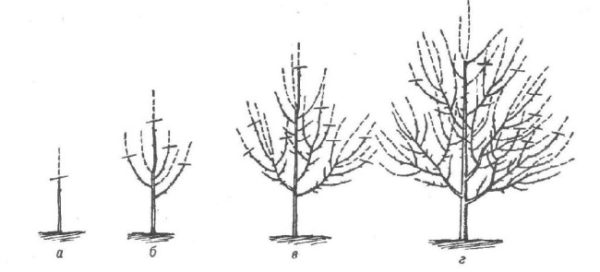 Обрезка груши в первые годы жизни дерева