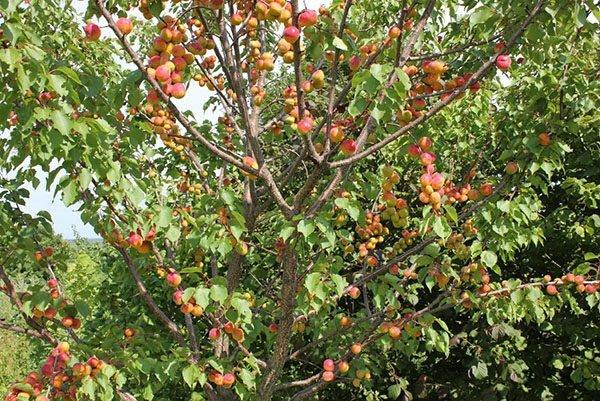 Плодоношение абрикоса Триумф Северный