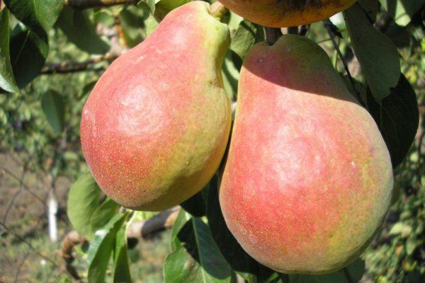 Плоды груши Любимица Клаппа