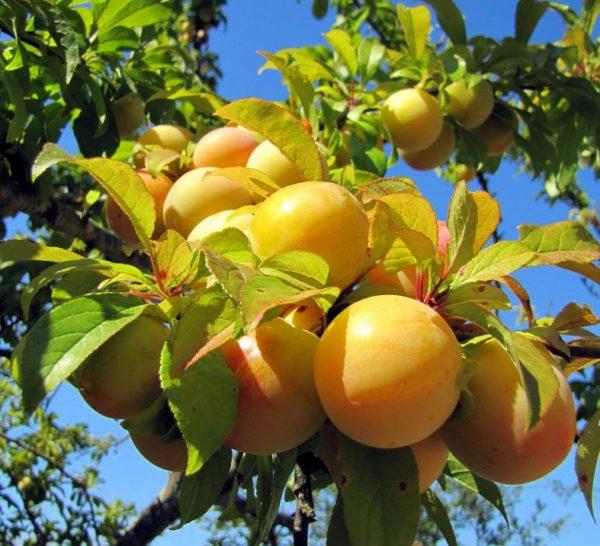 Плоды сливы Медовая белая на ветке