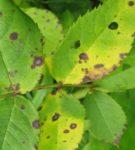 Пурпуровая пятнистость листьев